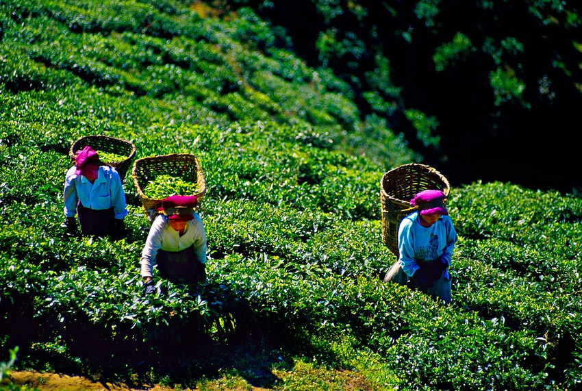 glendale tea estate